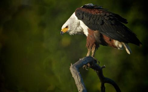 African Fish Eagle - Chris Martin Wildlife Photography