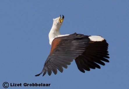 African Fish Eagle Haliaeetus vocifer calling on the wing.