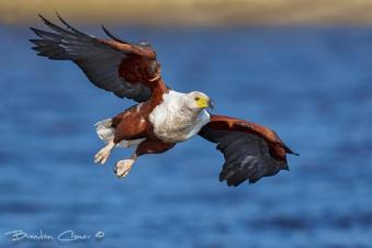 African Fish Eagle swooping down with intent...a great shot posted to our timeline by Brendon Cremer.