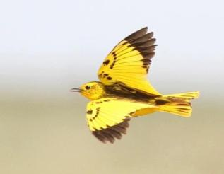 African golden pipit