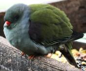 African Green-Pigeon (Treron calvus)