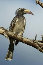 African Grey Hornbill - Tockus nasutus © by Krzysztof Błachowiak