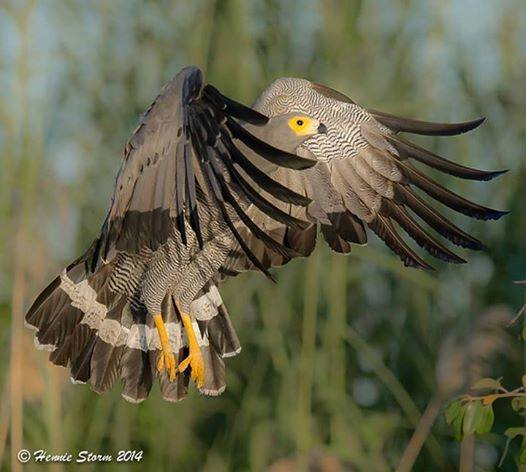 African Harrier Hawk in Chobe, Botswana. Image by Hennie Storm.