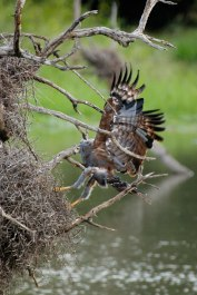 african-harrier-hawk raiding a Buffalo Weaver's nest
