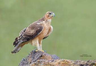 African Hawk Eagle....Immature