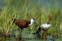 African jacana photographed in the Okavango Delta swamps
