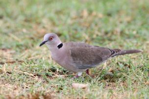 African Mourning Dove - Streptopelia decipiens © by Artur Bujanowicz