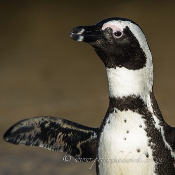 African Penguin stretching. Bird Island, Algoa Bay, Eastern Cape, South Africa.