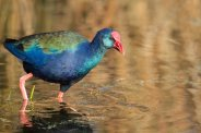 African Purple Swamp Hen by Africa, through my lens
