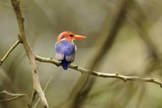 African Pygmy-Kingfisher - Ispidina picta © by Krzysztof Błachowiak