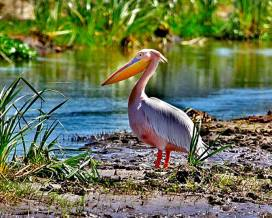 African White Pelican