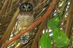 African Wood-Owl - Strix woodfordii © by Krzysztof Błachowiak