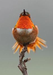 Allen's Hummingbird - Selasphorus sasin - by Alexander Viduetsky