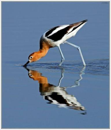 American Avocet Skimming for Food - Anis Shahmiri