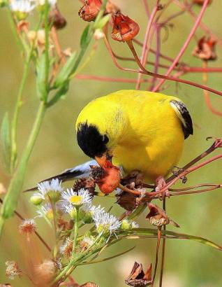 American Goldfinch by William Dalton,
