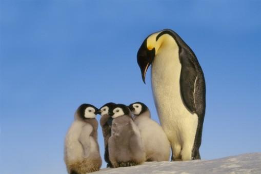 An Emperor penguin watches chicks in Antarctica