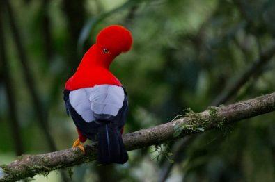 Andean Cock-of-the-rock. Rupicola peruviana Manu National Park and Biosphere Reserve, Peru