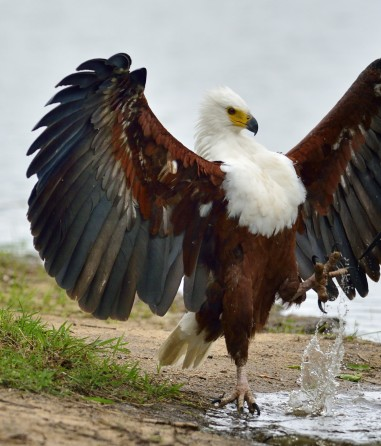 Archangel-eagle-African-fish-eagle-by-jaobus-de-wet-nat-geo