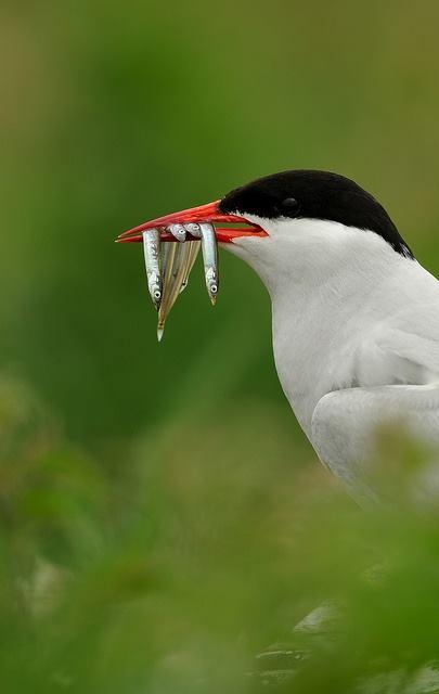 Arctic Tern by Benjamin Joseph Andrew