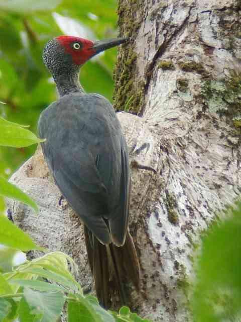 Ashy Woodpecker male