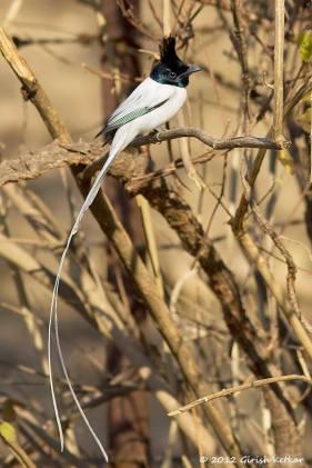 Asian Paradise flycatcher male