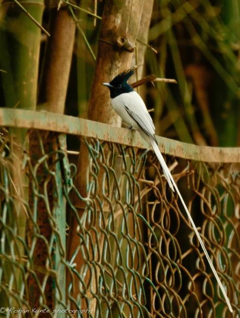 Asian Paradise Flycatcher - Rohan Kunte