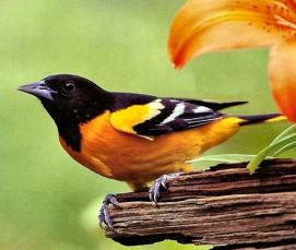 Baltimore Oriole -Bird Story