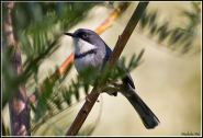 Bar-throated Apalis (2)