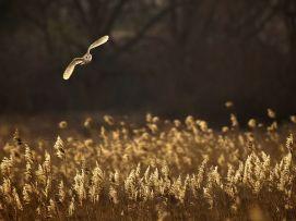 barn owl-flight-reeds_63784_600x450
