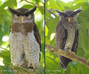 Barred Eagle-Owl - Bubo sumatranus - female left and male right, by Con Foley