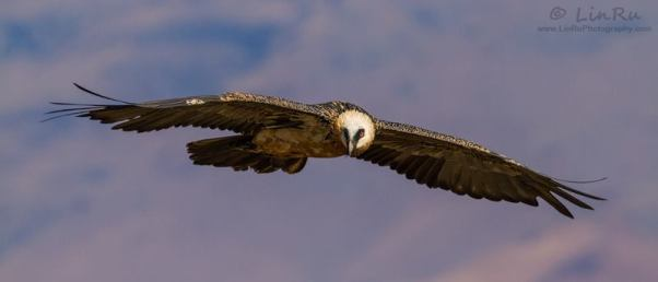 Bearded Vulture - Giant's Castle, South Africa