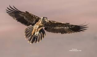 Bearded Vulture Juvie.....