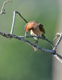 Bee-Eater-up1