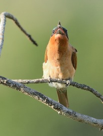 Bee-Eater-up2