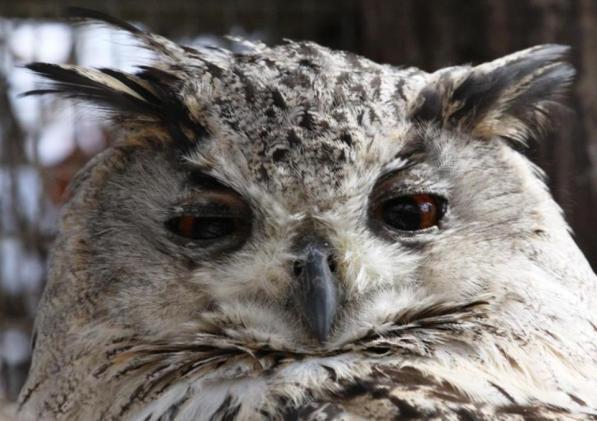 Bengali Owl