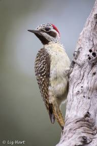 Bennet's Woodpecker photographed at Mombo, Chief's Island, Okavango Delta, Botswana