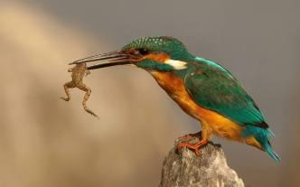 Bird catching frog