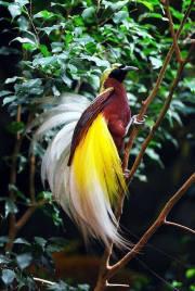 Bird of paradise (2)