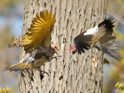 birds-fighting-lukasiewicz_3742_990x742