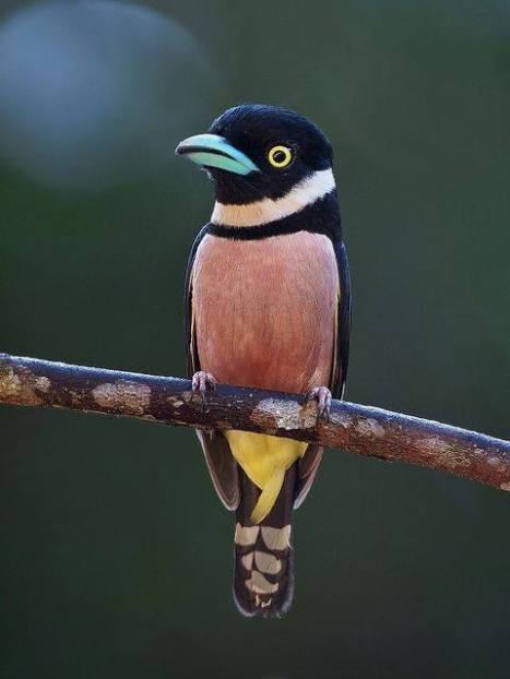 Black-and-yellow Broadbill - Eurylaimus ochromalus - by Wokoti