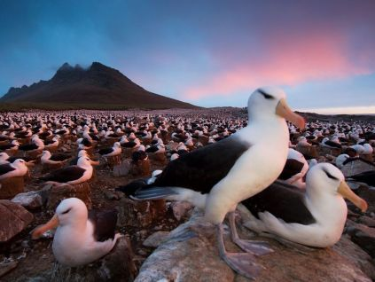 black-browed-albatross-colony_28382_990x742