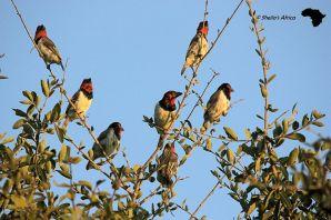 Black collared Barbets