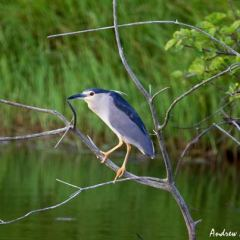 Black crowned night heron by Andrew at Phinda