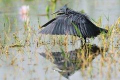 Black Heron - Egretta ardesiaca © by Bartosz Budrewicz