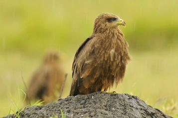 Black Kite - Milvus migrans © by Bartosz Budrewicz