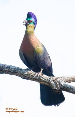 Blou Loerie - The Purple-crested Turaco is the National Bird of the Kingdom of Swaziland.