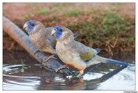 Blue Bonnets by Nicole Brooker - Australian Parrots and Birds