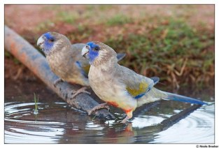 Blue Bonnets by Nicole Brooker - Australian Parrots and Birds