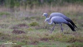 Blue Cranes