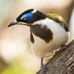 Blue Faced Honey Eater - Bird story